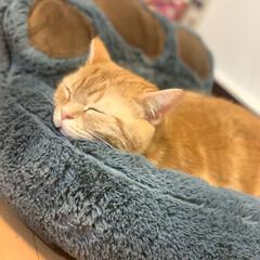 猫/アメショ/眠い/にゃんこ同好会 ((>﹏<๑));めちゃくちゃ風が強くて…