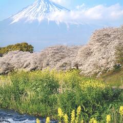 日本/雪融け水/清流/菜の花/桜並木/桜/... ザ日本の春