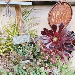 おうちのこと/日々の暮らし/お花のある暮らし/多肉寄せ植え/多肉ちゃん/小さなお庭/... お庭のお花や多肉ちゃんたちが もりもり元…