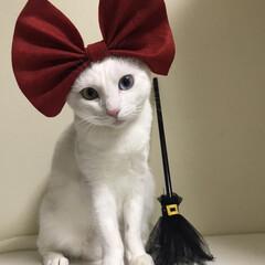 セリア/オッドアイ白猫/オッドアイ/魔女の宅急便/ハロウィン/ペット シーツ 魔女