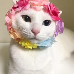 猫/オッドアイ/LIMIAペット同好会/ペット/ペット仲間募集/にゃんこ同好会/... 春爛漫🌸