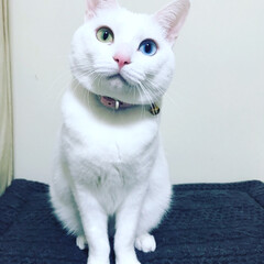 オッドアイ/オッドアイ白猫/LIMIAペット同好会/ペット/猫/にゃんこ同好会/... シーツさんのコーディネートチェック