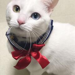 オッドアイ白猫/オッドアイ/にゃんこ学園/フォロー大歓迎/ペット/猫/... 猫界の橋本環奈ちゃんを目指そうかなw