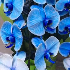 犬派/令和の一枚/至福のひととき/LIMIAおでかけ部/おでかけ/風景 胡蝶蘭ブルーを見つけましたよー😊