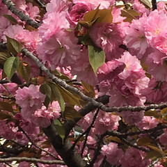 春のフォト投稿キャンペーン/平成最後の一枚/LIMIAファンクラブ/令和カウントダウン/春/おでかけ/... 八重桜さん🌸八重桜さん あなたはどうして…