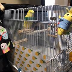 インコ/ラミネート/ペットと暮らす家「house-zoo」/DIY 我が家のレモンちゃんに鳥かごカバーを作っ…