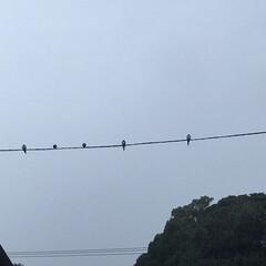 ソーシャルディスタンス/濡れ燕 見上げたら雨の中、燕が電線に。 雨宿りし…