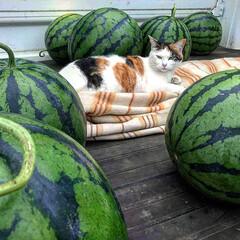 猫/スイカ/農家/ノラネコ/ニャンコ 妻の実家は農家です。  このニャンコは野…