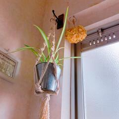 ハンギングプランター/セリア/観葉植物/トイレ/簡単/節約/... 蒲鉾大好き家族…いつも蒲鉾板を眺めては何…
