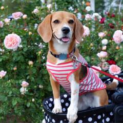 バラ園/ビーグル犬/ビーグル/犬/いぬ/LIMIAファンクラブ/... バラまつりに行きました🌹 園内はバラの香…