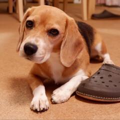 ビーグル犬/ビーグル/犬/いぬ/LIMIAペット同好会/フォロー大歓迎 パパさん今日は 遅いですね( -᷅_-᷄…