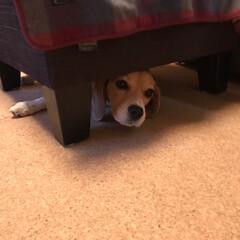 ビーグル犬/beagle/いぬ/オットマン/LIMIAペット同好会/フォロー大歓迎/... 今日はパパと 隠れんぼしたよ♪(´ε` )