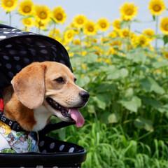 ひまわり畑/ビーグル犬/ビーグル/犬/いぬ/令和の一枚/... ひまわり畑へ 行きました🌻 ビタミンカラ…