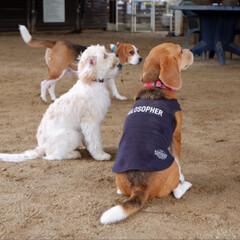 ビーグル犬/ビーグル/いぬ/犬/LIMIAペット部/LIMIAペット同好会 お友達のむぎちゃん(白い子です)がドッグ…