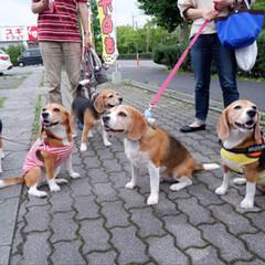 ビーグル犬/ビーグル/犬/いぬ/犬派/令和の一枚/... しぇりーは5頭で生まれ 全員が女の子です…(9枚目)