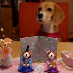 お雛様/ひな祭り/いぬ/ビーグル犬/beagle/LIMIAペット同好会/... 私のお雛様ですよ🎎 ひなあられ 美味しそ…