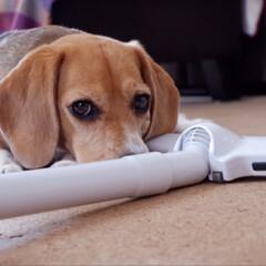 ビーグル犬/ビーグル/犬/いぬ/LIMIAペット同好会 掃除したい場所に 必ずいます( ˊᵕˋ …