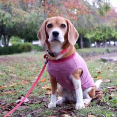 ビーグル犬/ビーグル/いぬ/犬/LIMIAペット同好会/LIMIAペット部 公園までお散歩に 行きました🚶🚶🏻♀️…