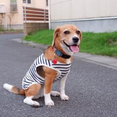 オソロコーデ/マリンコーデ/ビーグル犬/ビーグル/犬/いぬ/... シェリーとママ オソロコーデ♩¨̮⑅*♡(1枚目)