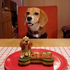 お誕生日ケーキ/ビーグル犬/ビーグル/犬/いぬ/令和の一枚/... 7月15日に4歳に なりました。 可愛い…