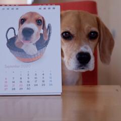 THE DOG/カレンダー2020/ビーグル犬/ビーグル/犬/いぬ/... 2020年のTHE DOG ビーグル卓上…