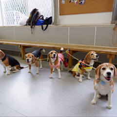 ビーグル犬/ビーグル/犬/いぬ/犬派/令和の一枚/... しぇりーは5頭で生まれ 全員が女の子です…(8枚目)