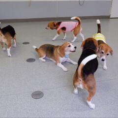 ビーグル犬/ビーグル/犬/いぬ/犬派/令和の一枚/... しぇりーは5頭で生まれ 全員が女の子です…(4枚目)
