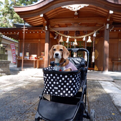 ビーグル犬/ビーグル/いぬ/犬/LIMIAペット部/LIMIAペット同好会 10月の戌の日 子宝・安産祈願に 行って…