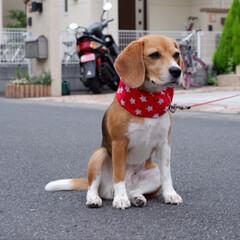 ビーグル犬/ビーグル/犬/いぬ/ハンドメイド/LIMIAファンクラブ/... お友達に クールネックを 作って頂きまし…