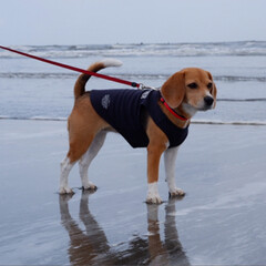 海辺/ビーグル犬/ビーグル/いぬ/犬/令和の一枚/... 九十九里浜へ行きました🌊  海なし県で生…