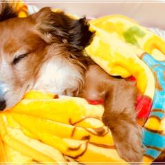 癒されます/ぐっすり/大好き/M.ダックス/犬/愛犬/... pooさんの膝掛けと一緒に寝るのが大好き…