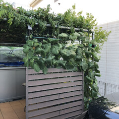 琉球朝顔/オーシャンブルー/グリーンカーテン グリーンカーテン  自宅の庭はオープン外…