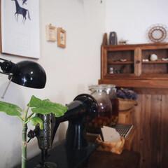 ウンベラータ/賃貸/木の家/新芽/観葉植物のある暮らし/DIY/... 昨年、挿し木にした ウンベラータさん🌱🌱…