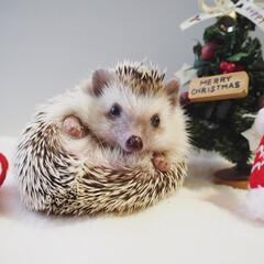 ペット/メス/ココ/ハリネズミ/Xmas/クリスマスツリー/... 我が家のアイドル🦔♡ クリスマス仕様にし…