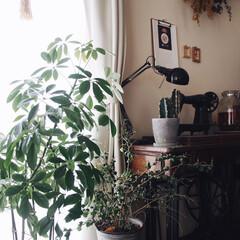 古民家風/レトロ/お気に入り/成長/植物のある暮らし/賃貸/... 観葉植物が今の時期は 本当に成長が早くて…