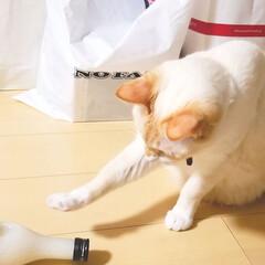 猫/お土産 お土産の甘さ酒が気になるご様子のましゅ♪…