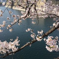 お花見 大阪城公園
