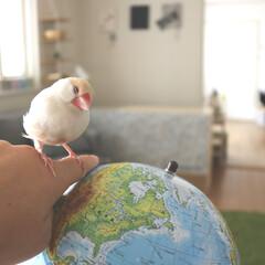 地球儀/モモ/文鳥/鳥/ペット 毎日のんびりのシナモン文鳥モモ。  地球…