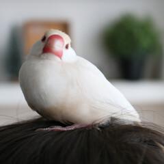 ペット/文鳥/うちの子/頭の上/暖かい/win-win/... 頭の上が暖かくて。 頭に乗ってると暖かく…