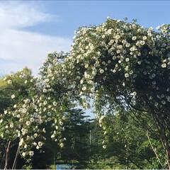新緑の季節/新緑/薔薇/公園/春のフォト投稿キャンペーン/ありがとう平成/... 藤の花を見に行った後、公園へ。 梅、桜の…