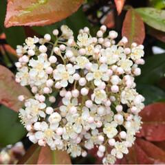 垣根の花/雨/春のフォト投稿キャンペーン/ありがとう平成/令和カウントダウン/春/... 職場の垣根の花 小さい花がたくさん集まっ…