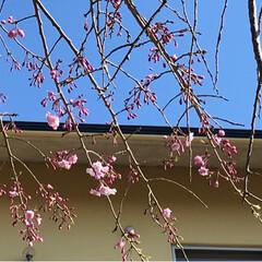 枝垂れ桜/春/職場/風景/春の一枚 職場ほ枝垂れ桜も咲き始めました🌸