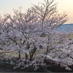 満開の桜/夕暮れ/枝垂れ桜/職場の庭/平成最後の一枚/春のフォト投稿キャンペーン/... 今朝は雨が降っていましたが、午後から雨も…