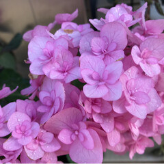 多肉植物/ジャスミン/紫陽花/令和の一枚/至福のひととき/風景/... 今朝の庭のお花です🌸