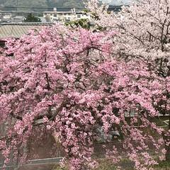 枝垂れ桜/ソメイヨシノ/見納め 職場の二階から庭の桜を見下ろして🌸