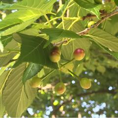 新緑の季節/新緑/薔薇/公園/春のフォト投稿キャンペーン/ありがとう平成/... 藤の花を見に行った後、公園へ。 梅、桜の…(5枚目)