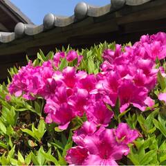ツツジ/藤/春のフォト投稿キャンペーン/ありがとう平成/令和の一枚/GW/... 今日も母と妹と一緒に藤の花を見に行ってき…(6枚目)