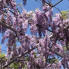ツツジ/藤/春のフォト投稿キャンペーン/ありがとう平成/令和の一枚/GW/... 今日も母と妹と一緒に藤の花を見に行ってき…