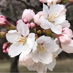 春/桜づくし/桜🌸/春のフォト投稿キャンペーン/LIMIAおでかけ部/おでかけ/... 桜🌸 今日は車で移動中も桜🌸が絶え間なく…