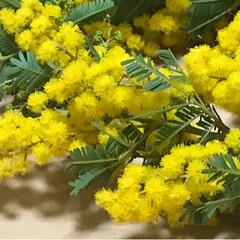 ミモザ/ミモザイエロー/ハンドメイド 何軒かのお花屋さんを巡り、今日やっと見つ…(2枚目)